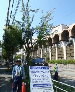 大阪市の高木剪定ですが、雨ばっかりで はかどりません。